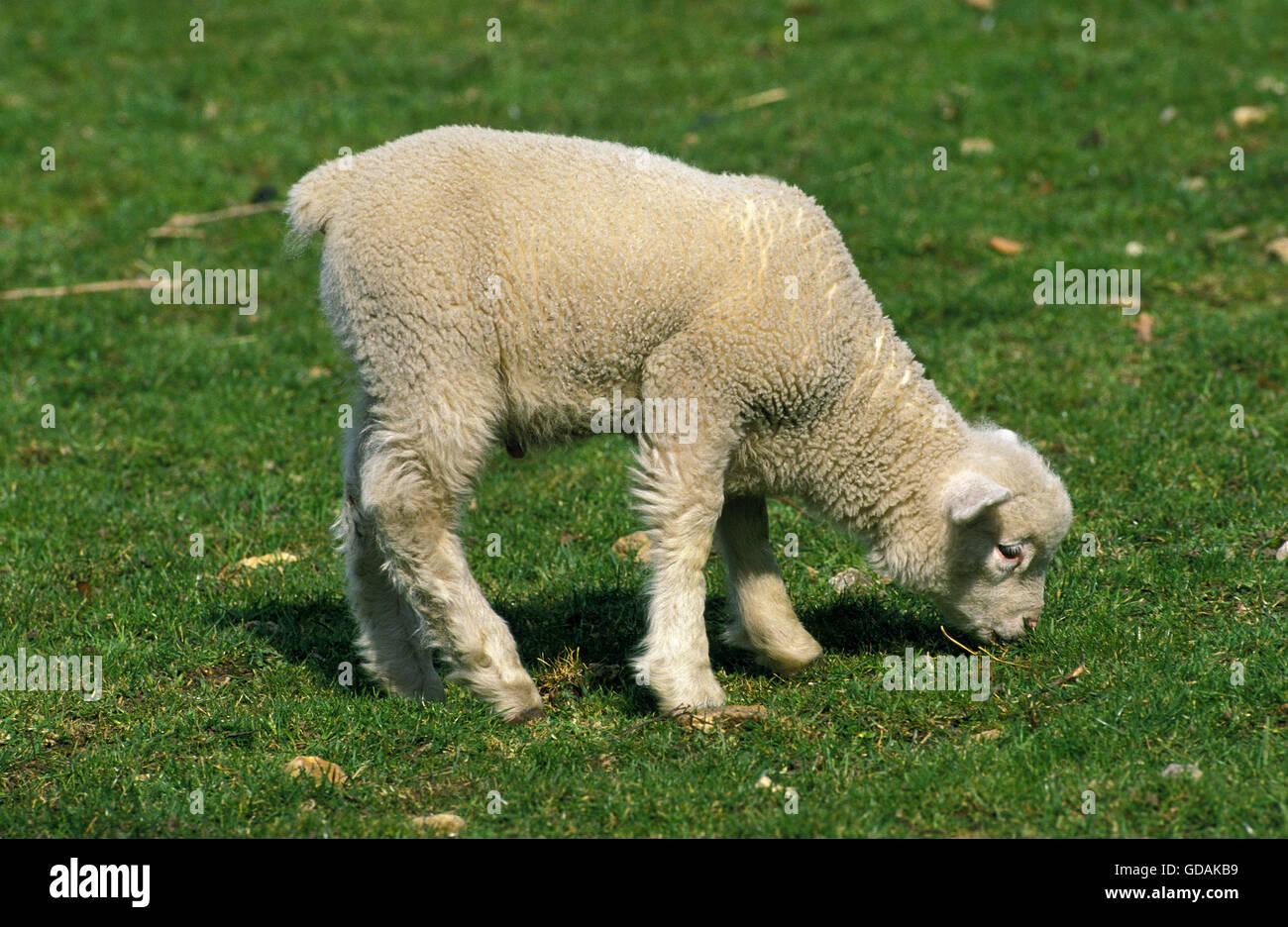 lamb eating grass stock photos u0026 lamb eating grass stock images