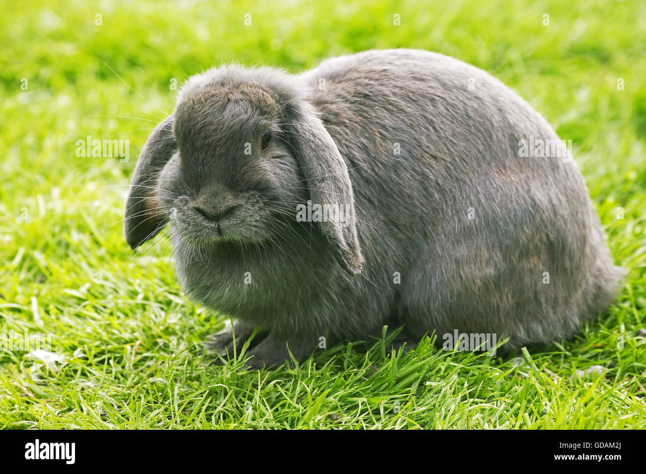 sites rabbits adult