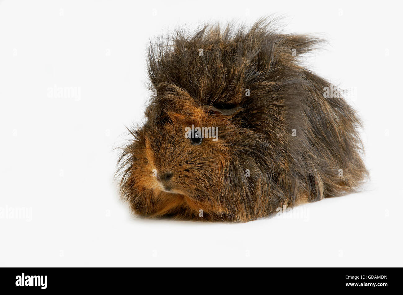 Background image mdn - Long Hair Guinea Pig Cavia Porcellus Against White Background