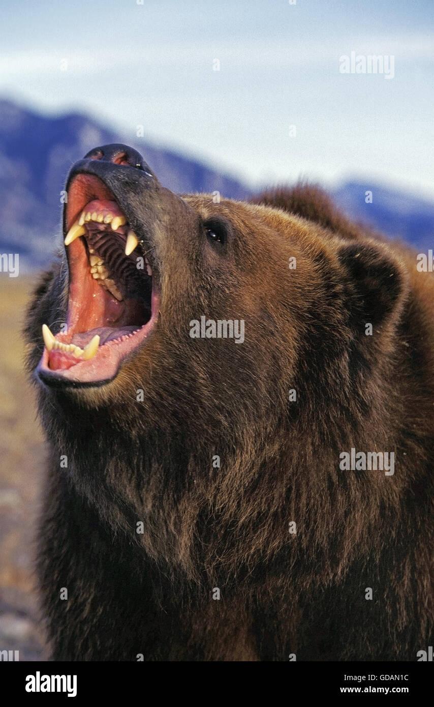 kodiak bear ursus arctos middendorffi adult threatening. Black Bedroom Furniture Sets. Home Design Ideas