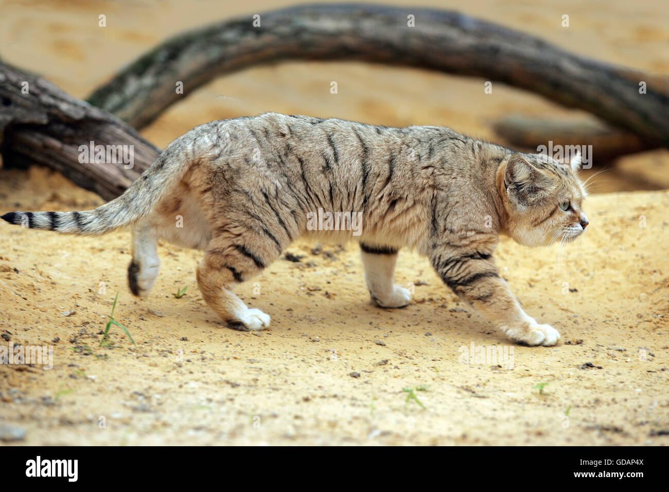 Sand Cat Felis Margarita Adult Stock Royalty Free