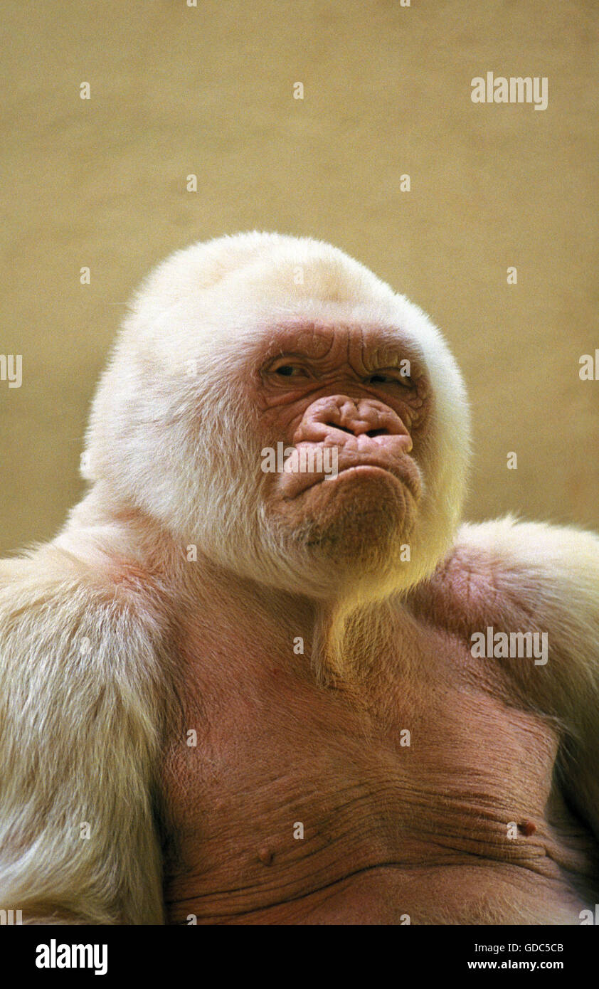 Uncategorized Snowflake The White Gorilla white gorilla male called snowflake or copito de nieve barcelona zoo