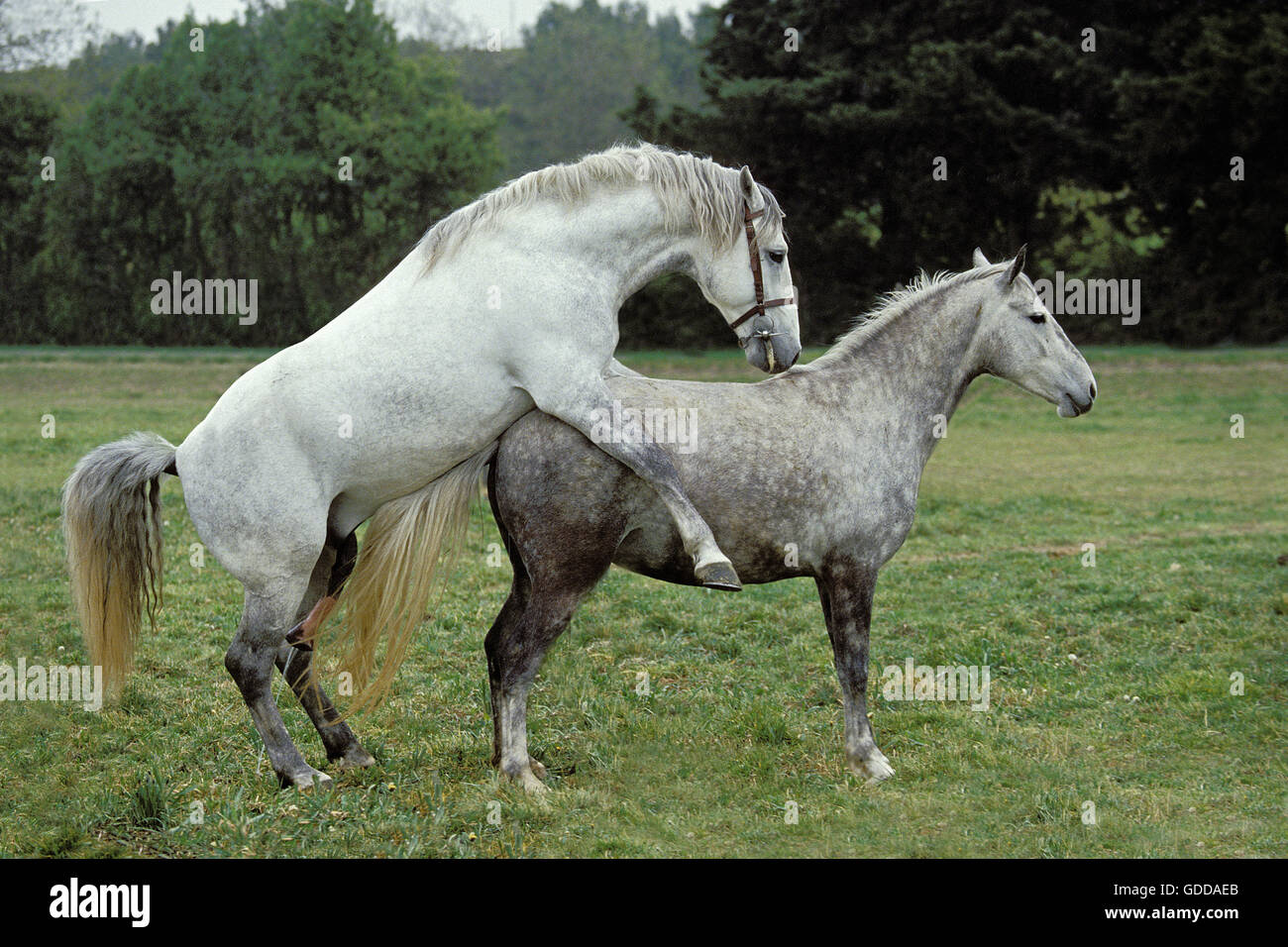 Lipizzan Horse, Pair Mating Stock Photo: 111546355 - Alamy