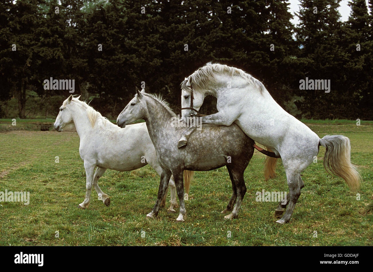 Pin Lipizzan-horses on Pinterest