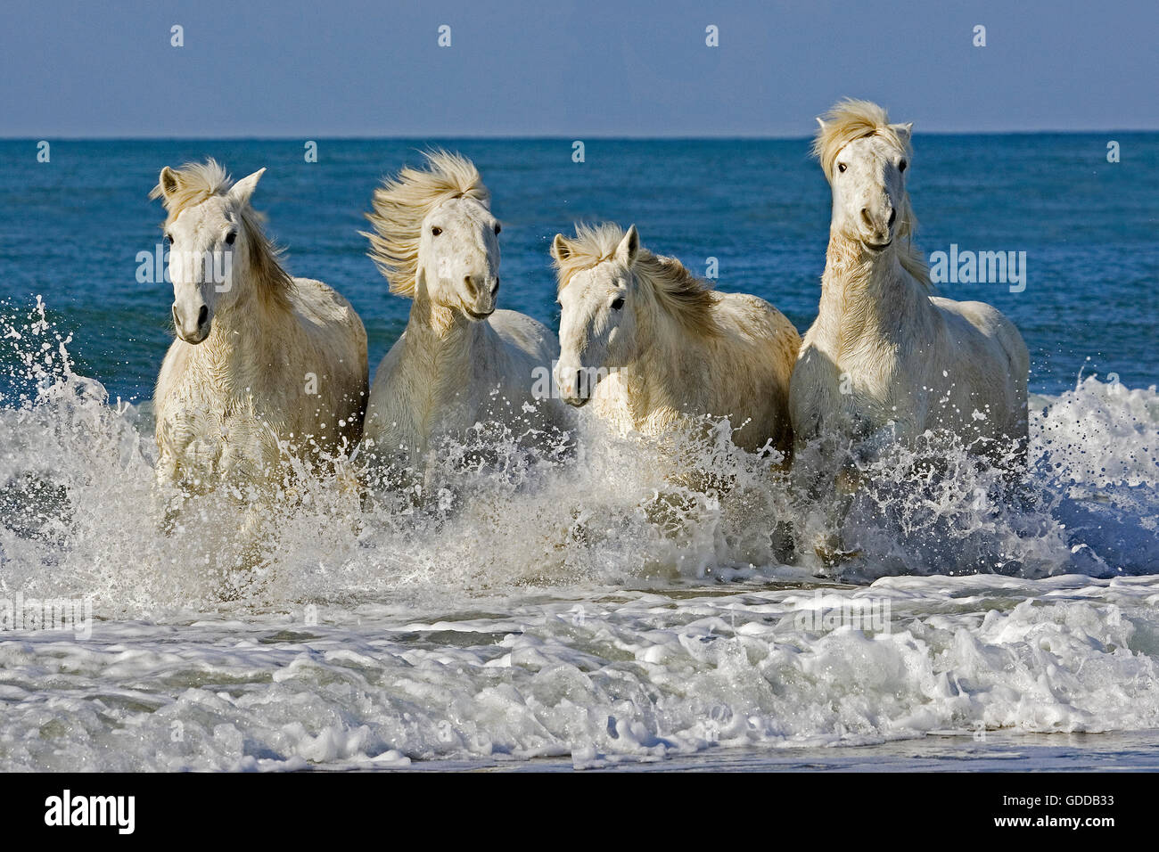 camargue horses herd galloping on the beach saintes