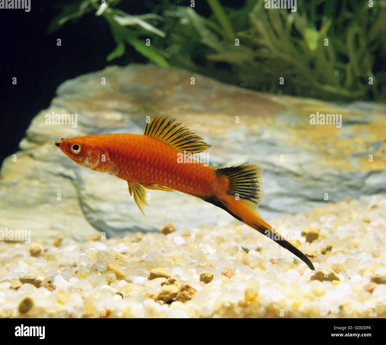 Red Wagtail Swordtail Fish, xiphophorus helleri wagtail ...