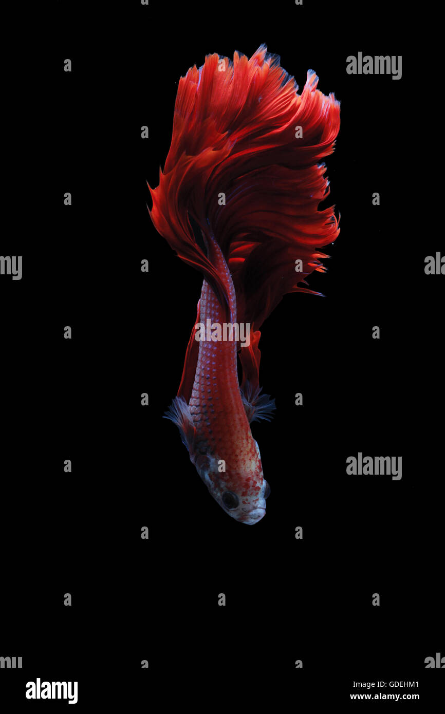 List of Synonyms and Antonyms of the Word: indonesia betta fighting