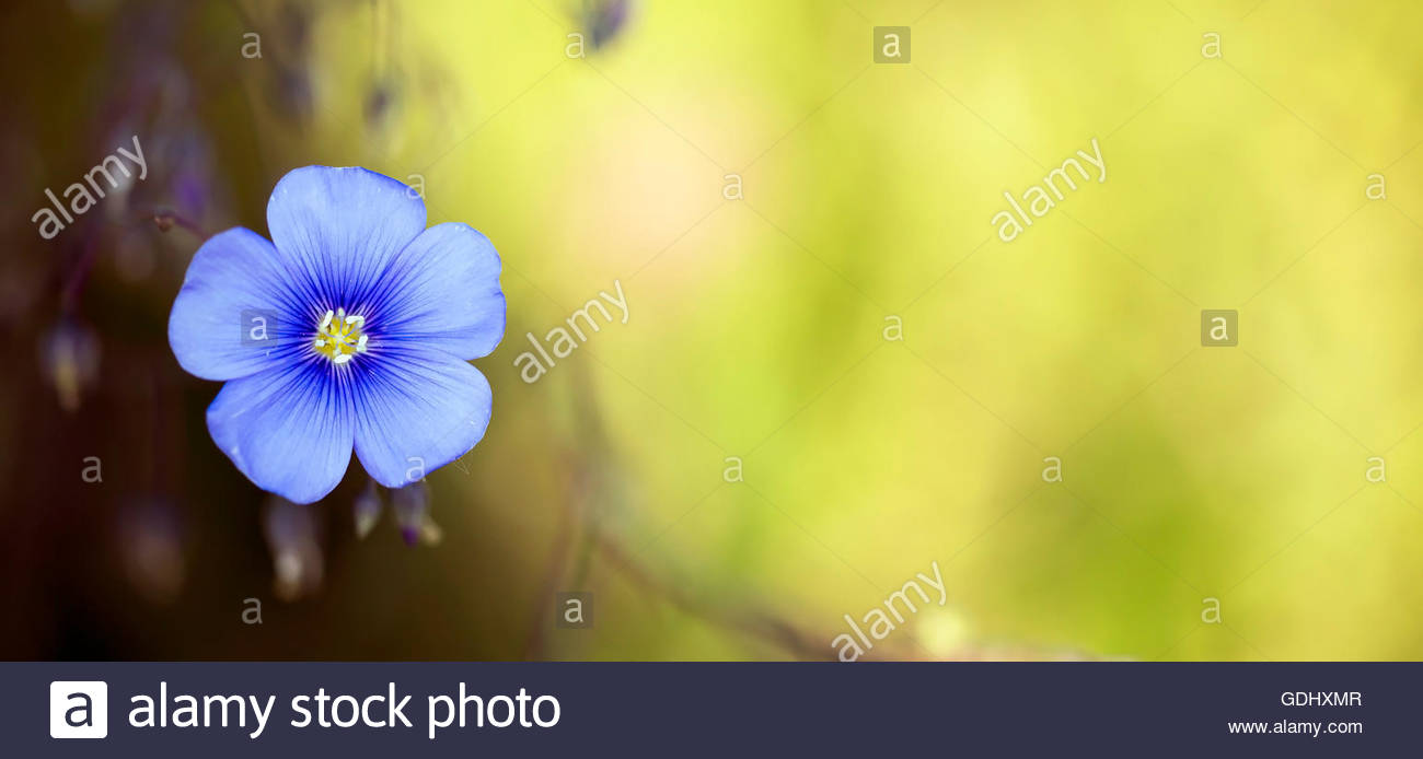 Free banner images for website - Beautiful Blue Flax Flower On Yellow Background Website Banner