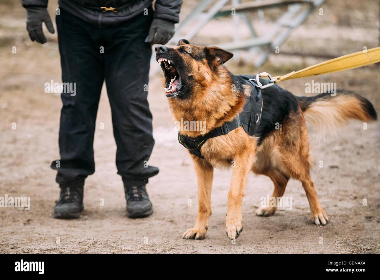 German Shepherd Dog Training Video Free Download