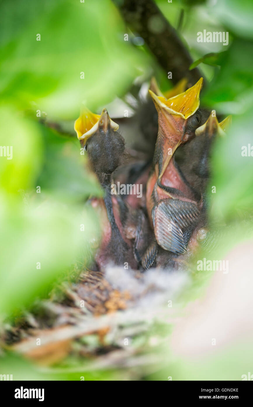 florida state bird northern mockingbird chicks mimus polyglottos in nest waiting for food