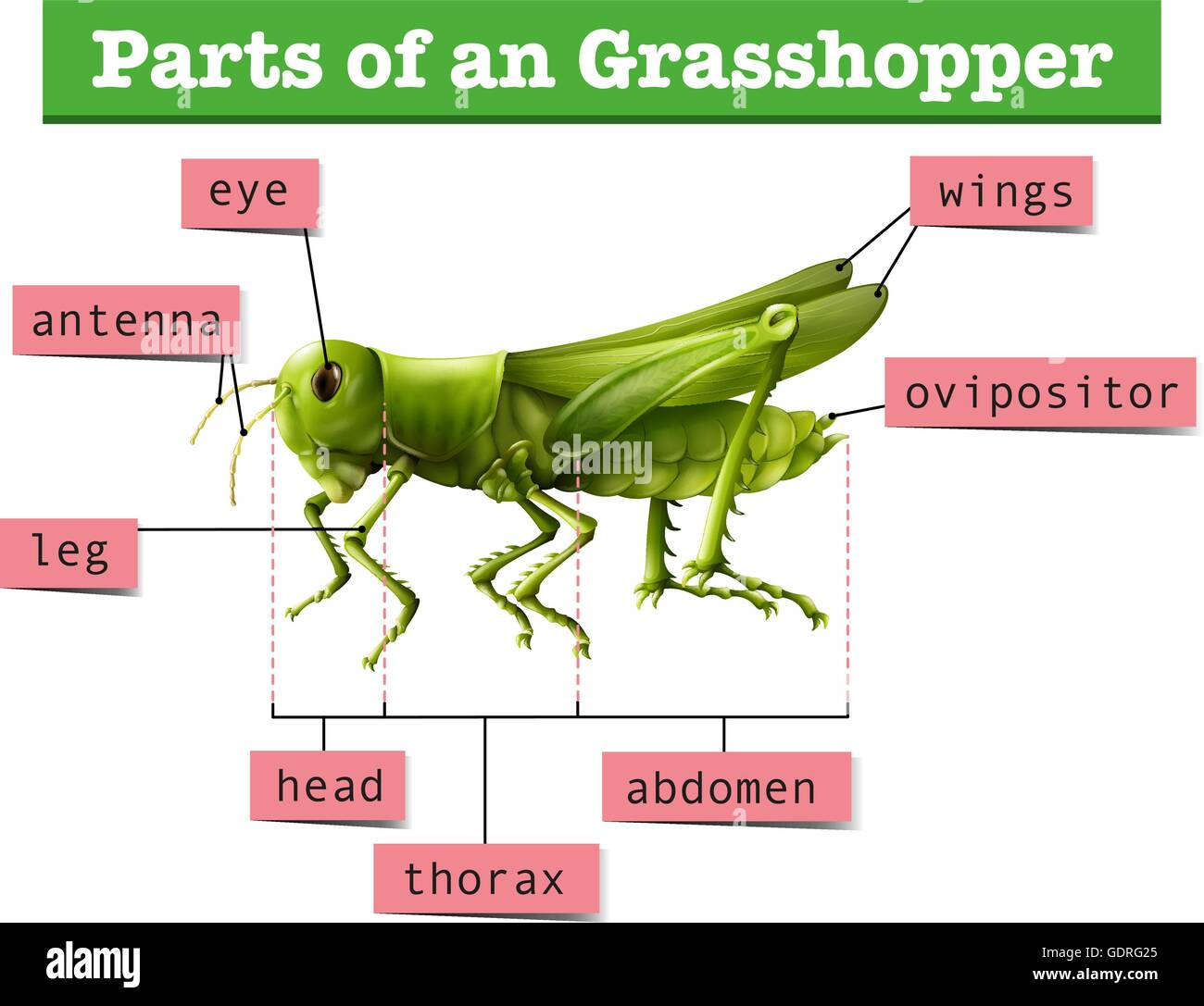 Bug Eye Diagram Guide And Troubleshooting Of Wiring Grasshopper Diagrams Showing Different Parts Display