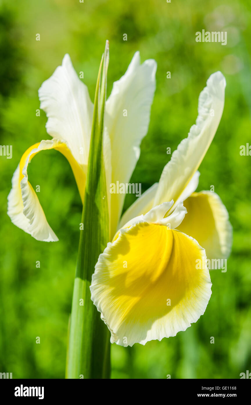 beautiful blooming white and yellow iris flowers stock photo, Beautiful flower