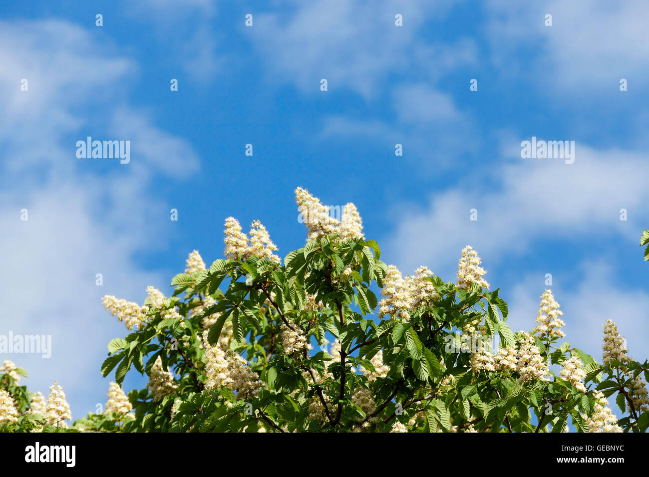 blooming chestnut tree in the spring Stock Photo Royalty Free