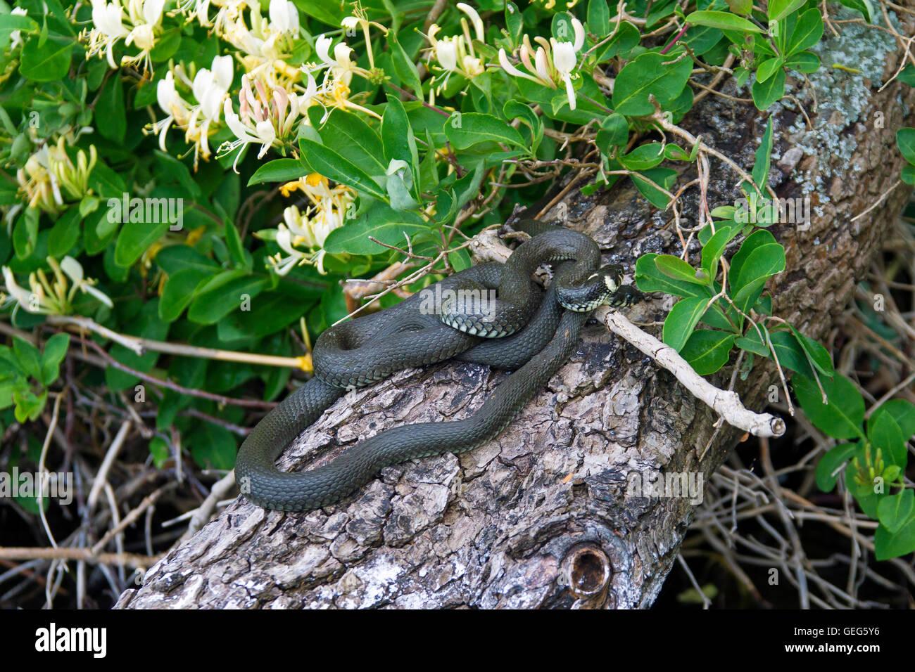 two grass snakes ringed snake water snake natrix natrix on