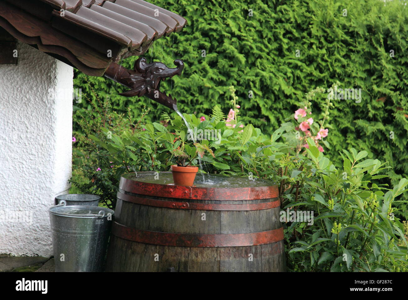 Perfect Old Wooden Wine Barrel (water Butt) In Garden Collecting Rainwater During  Severe Rainfall.Germany. Photo By Willy Matheisl