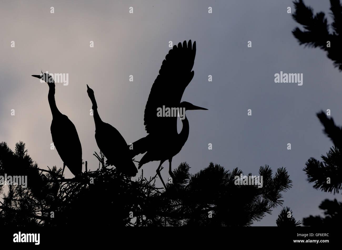 three grey heron ardea cinerea juvenile birds in the nest stock