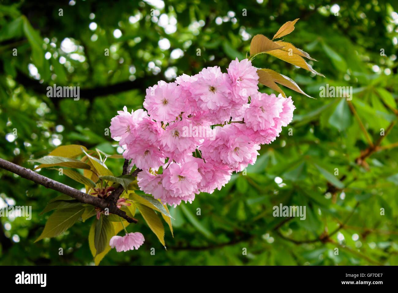 Delicate pink sakura flowers on a green tree crown stock photo delicate pink sakura flowers on a green tree crown dhlflorist Images