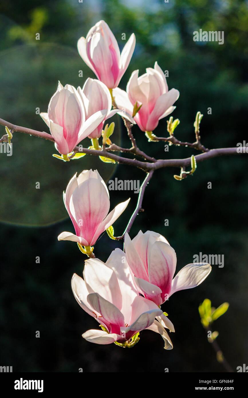 <b>Magnolia Flowers</b> Close On <b>Blur</b> Green Stock Photo 184500344 ...