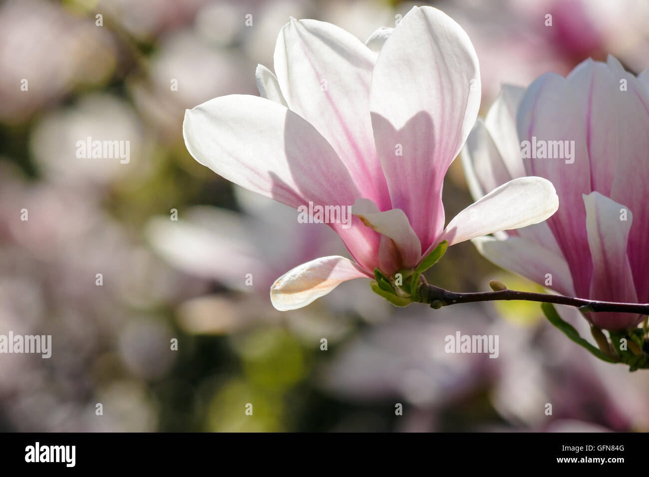 <b>Magnolia Flowers</b> Close Up On A <b>Blur</b> Green Grass And Leaves Backlit ...