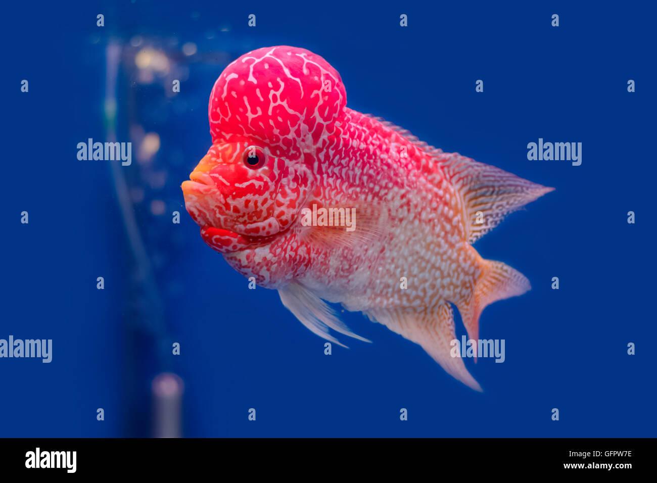 Close up flowerhorn cichlid fish on blue backgroundater for Flower horn fish