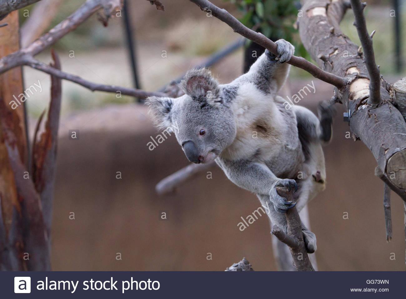 Cute koala bear climbing tree Stock Photo Royalty Free Image
