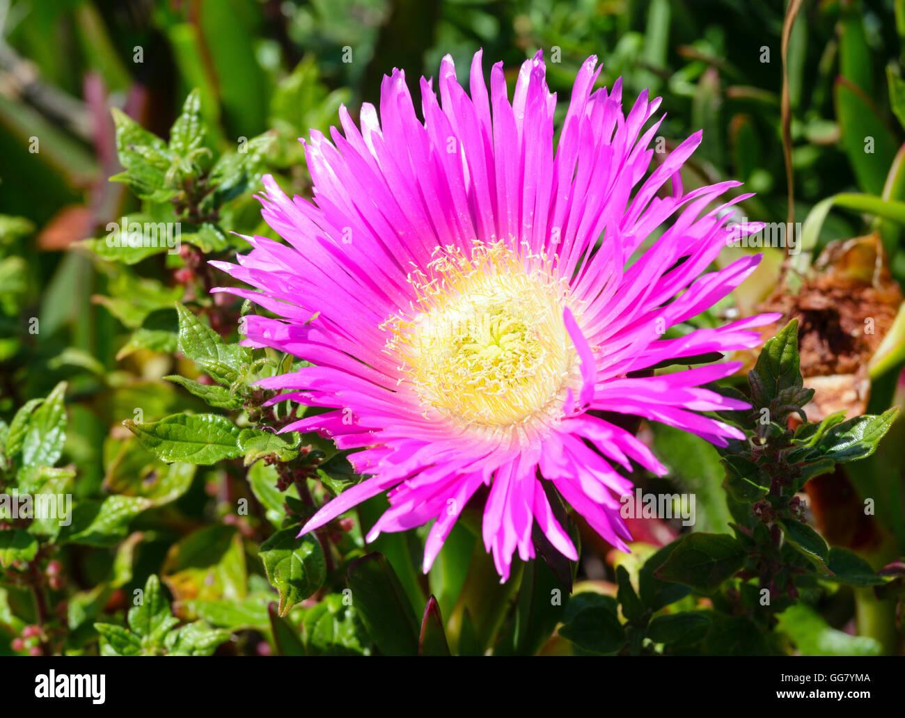 Carpobrotus known as pigface ice plant with pink large daisy like carpobrotus known as pigface ice plant with pink large daisy like flowers closeup izmirmasajfo Image collections