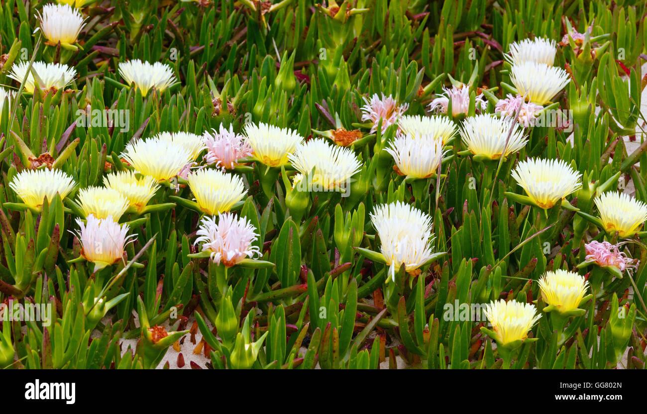 Carpobrotus known as pigface ice plant with white large daisy carpobrotus known as pigface ice plant with white large daisy like flowers closeup izmirmasajfo Image collections
