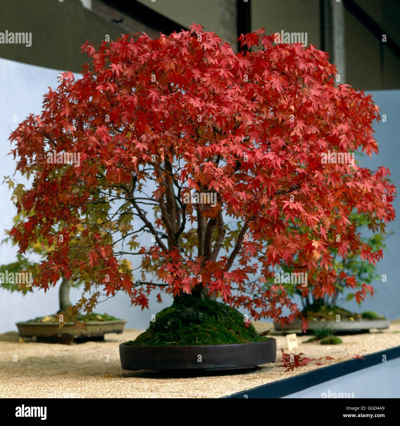 bonsai acer rubrum red maple bon000192 stock photo