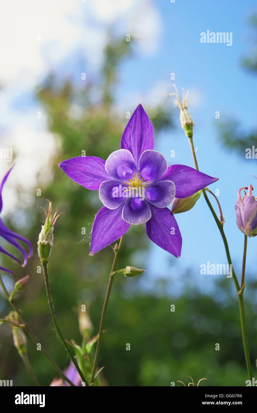 Beautiful purple columbine flower flower in the garden stock beautiful purple columbine flower flower in the garden dhlflorist Gallery