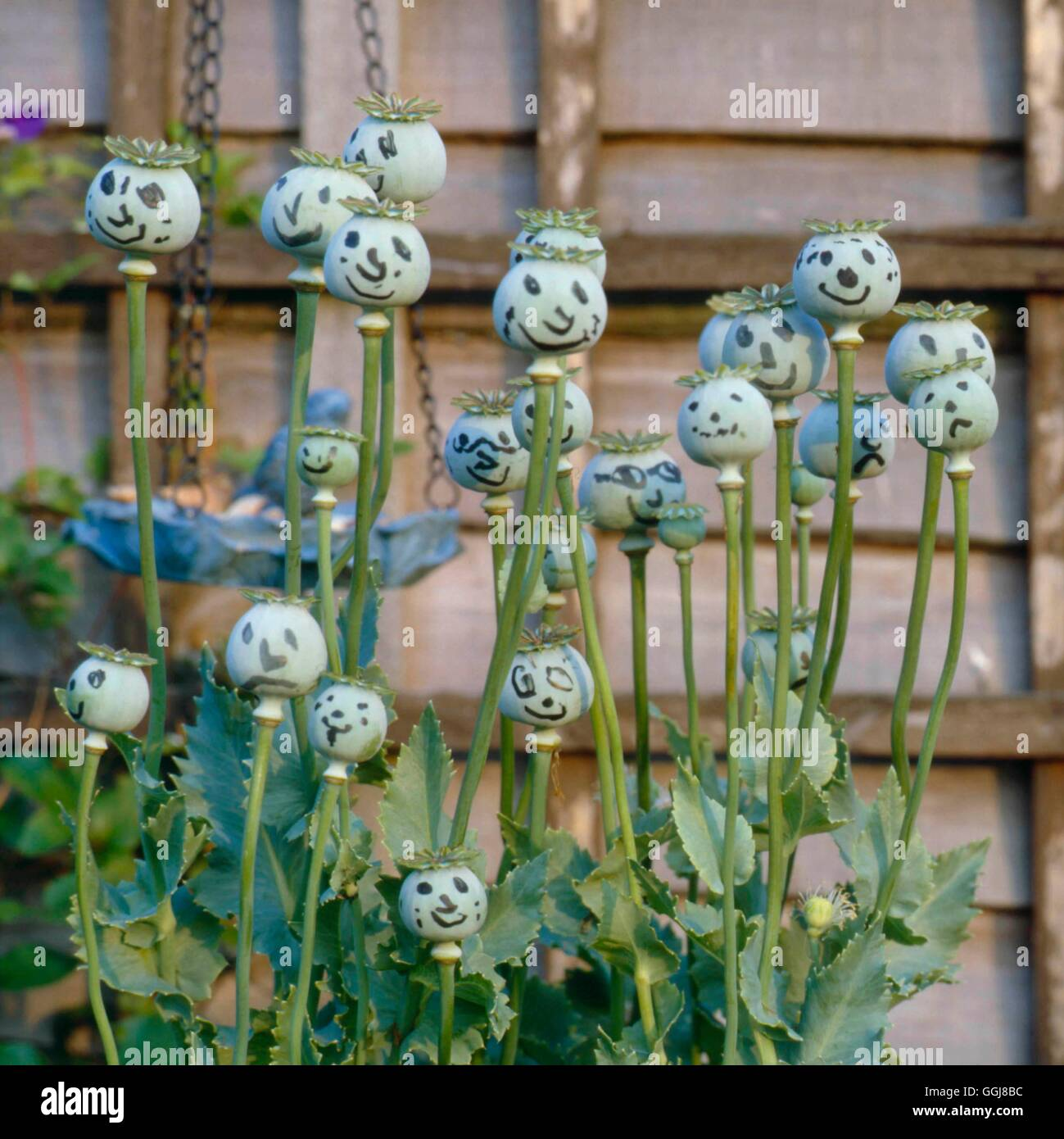 Image source plantsam com - Dried Plants Poppy Seed Heads Left To Dry Cause Source Of Ammusement Dri056991 Photos Hortic