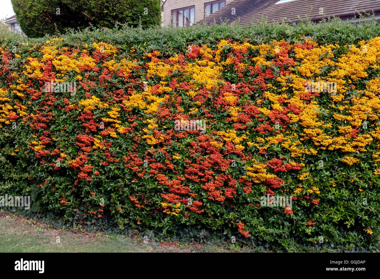 Hedge Of Mixed Pyracantha Miw250767 Stock Photo Royalty