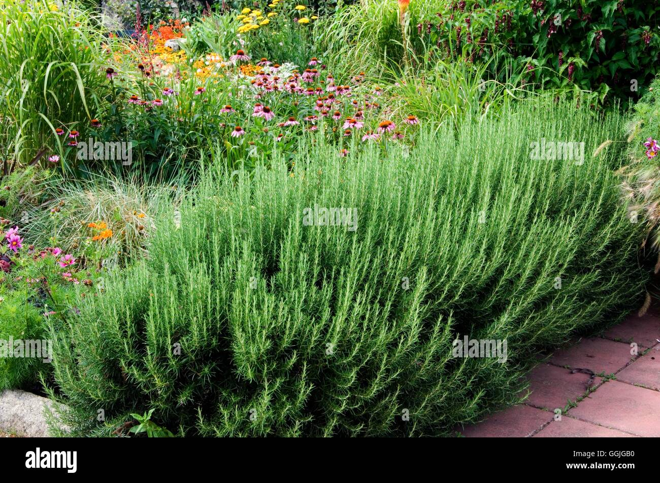 Rosemary Hedge Stock Photos \u0026 Rosemary Hedge Stock Images - Alamy