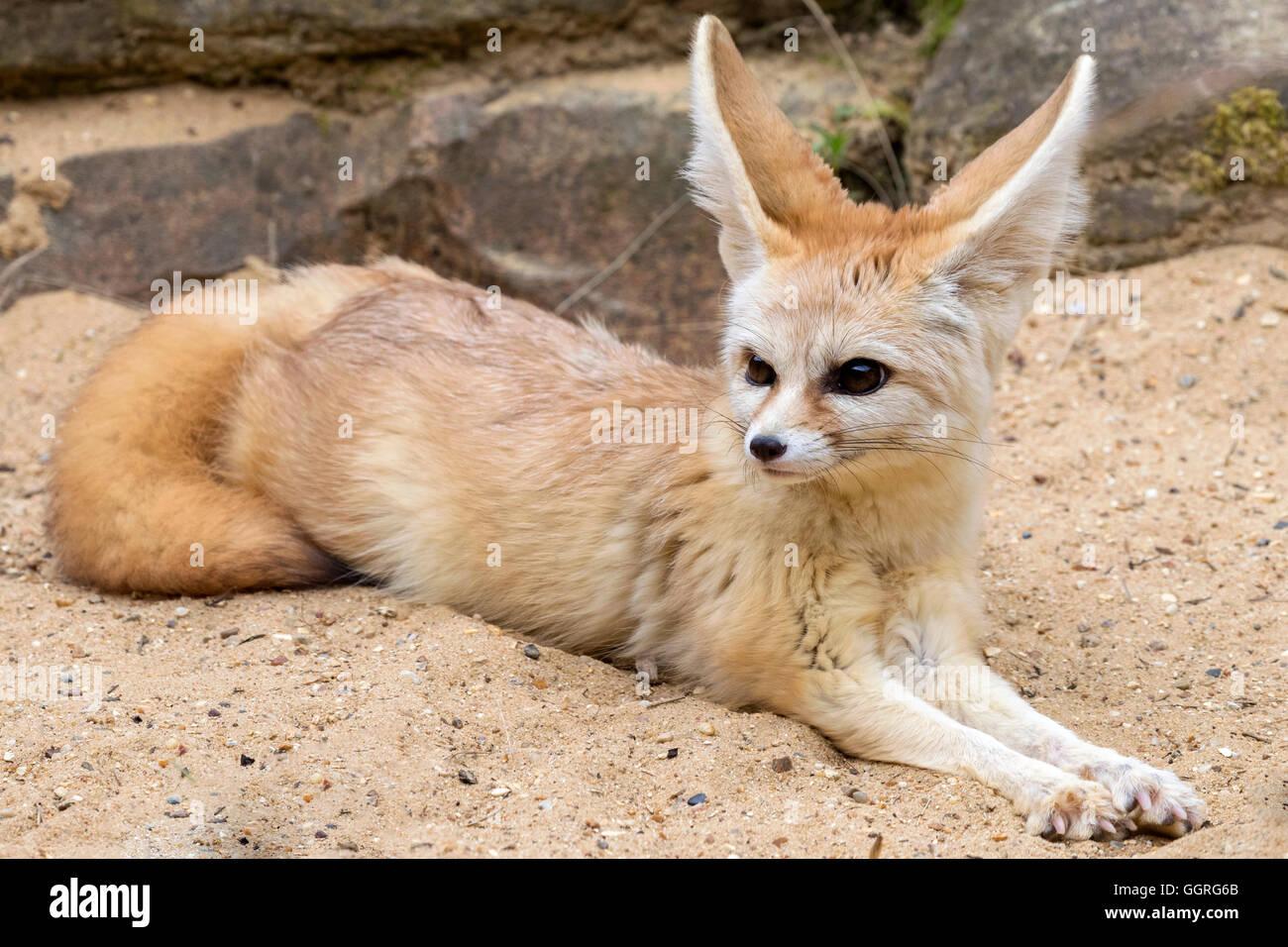 fennec fox vulpes zerda stock photos u0026 fennec fox vulpes zerda