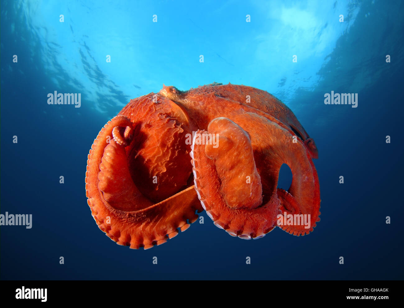 an analysis of the life of octopus dofleini Table 3  estimated life span of selected octopuses   to review  fisheries for octopus dofleini and major fisheries for other octopods elsewhere in .