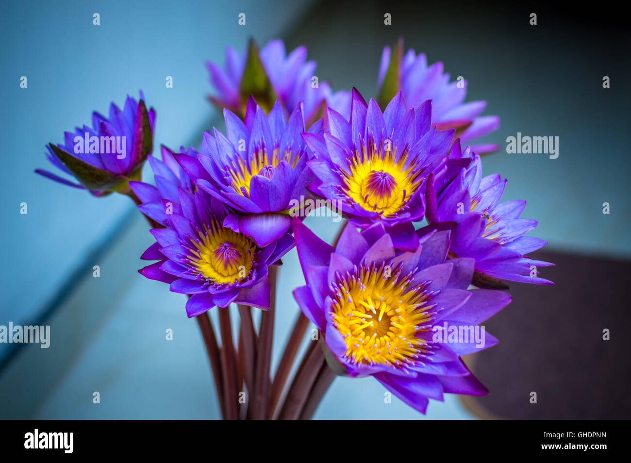 Blue lotus flower close up stock photo royalty free image blue lotus flower close up dhlflorist Images