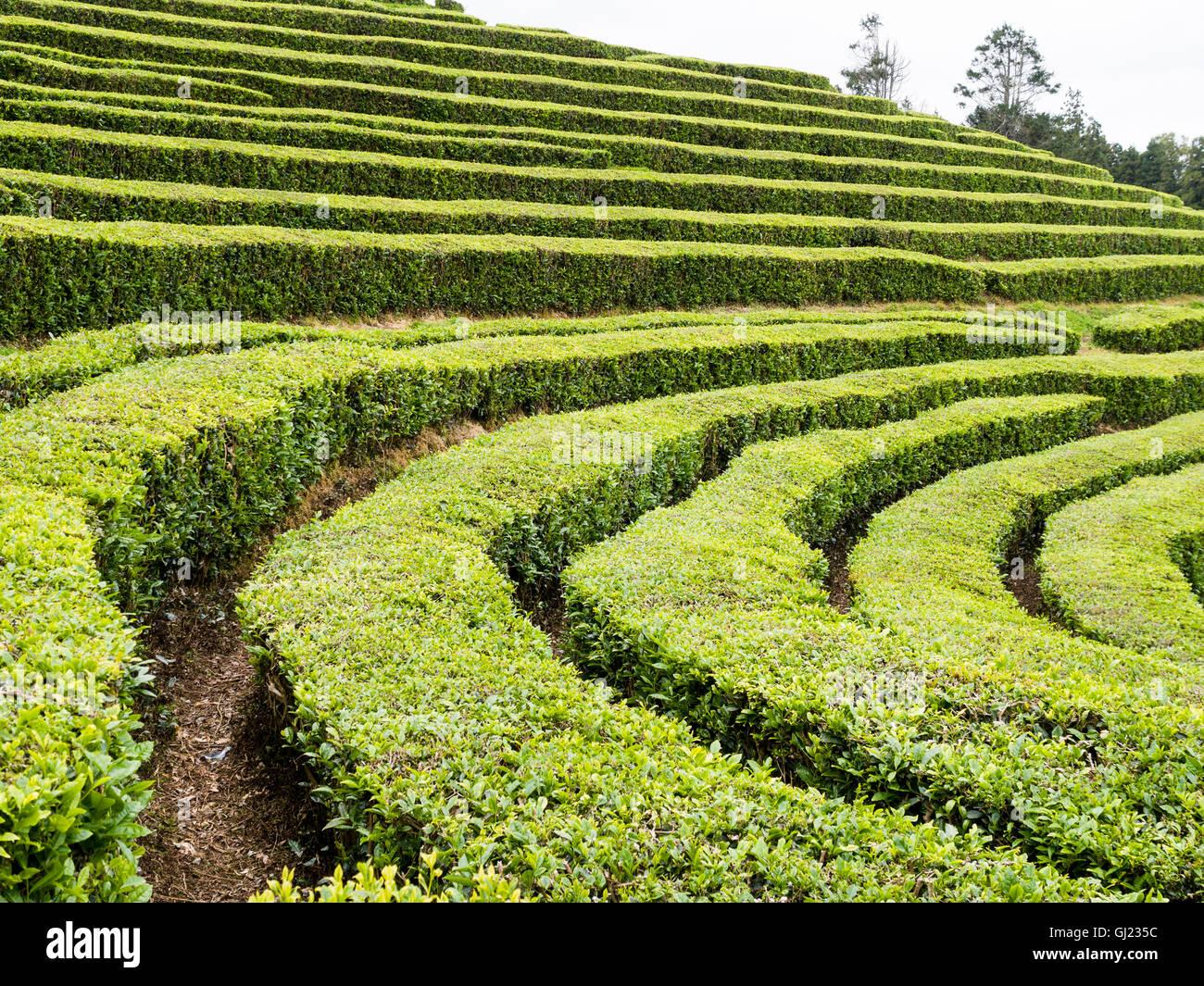 Bushes For Hedges