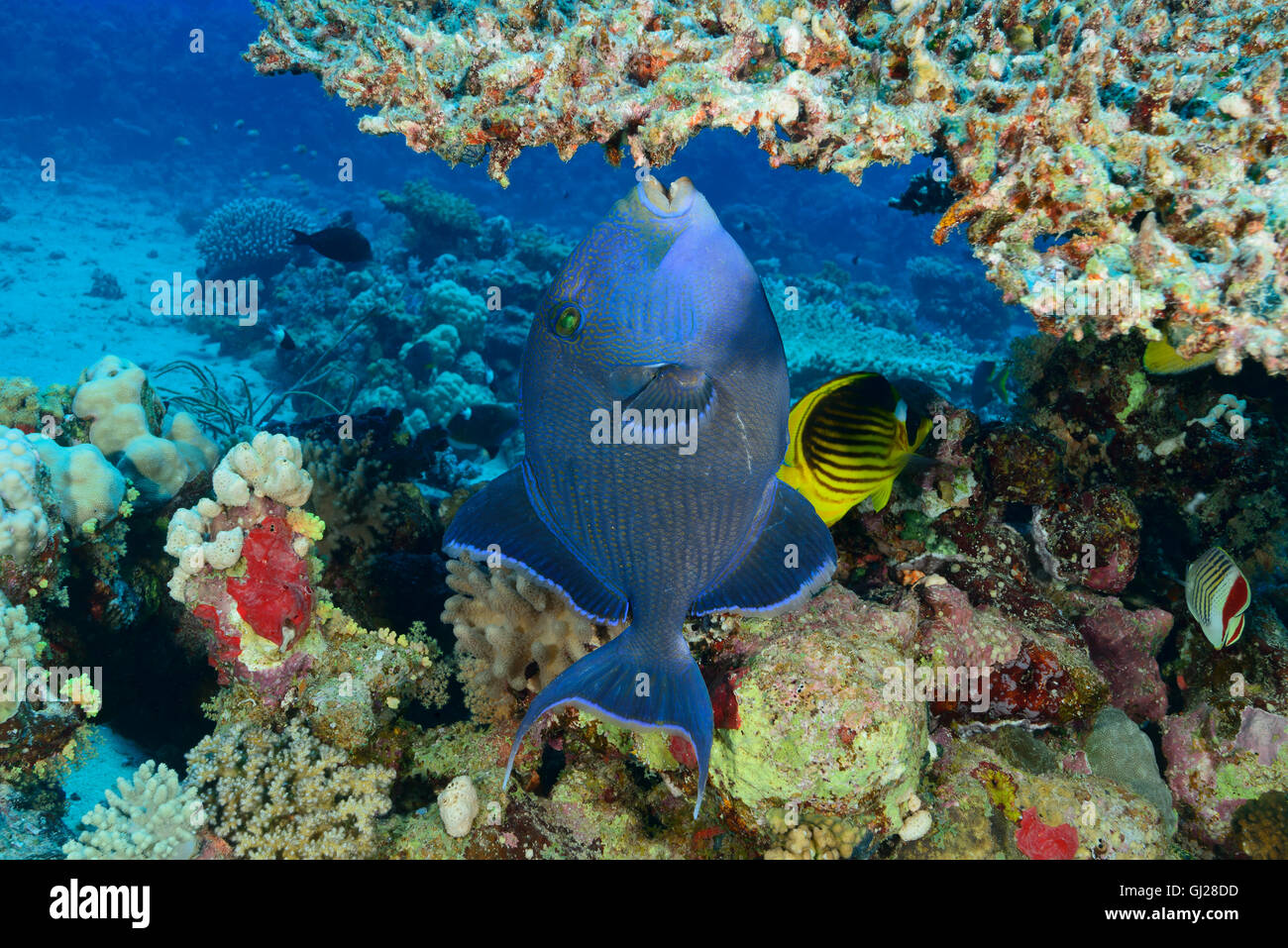 pseudobalistes fuscus blue rippled or yellow spotted triggerfish