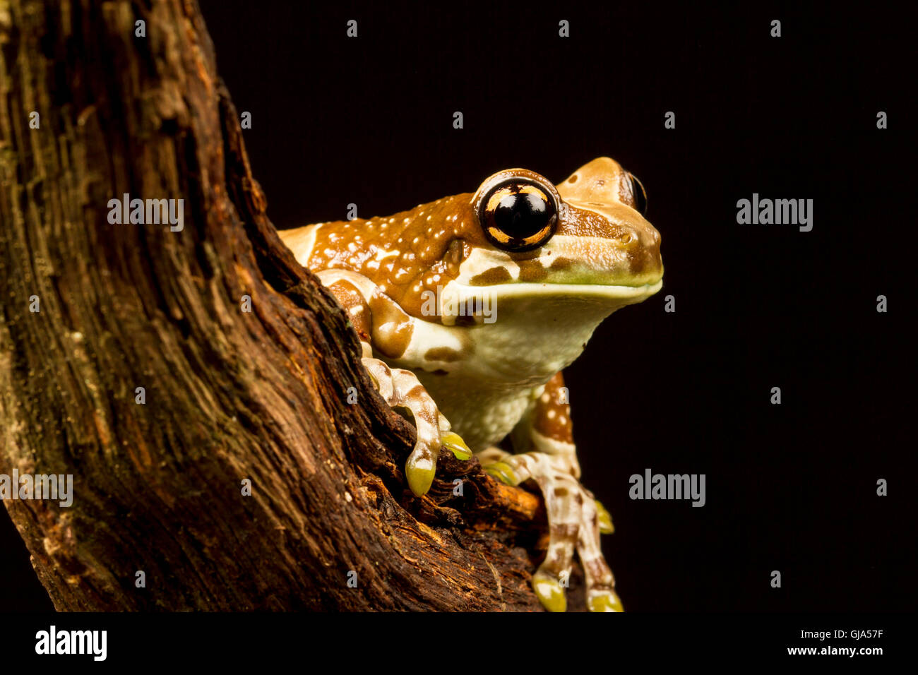 Mission Golden Eyed Treefrog Amazon