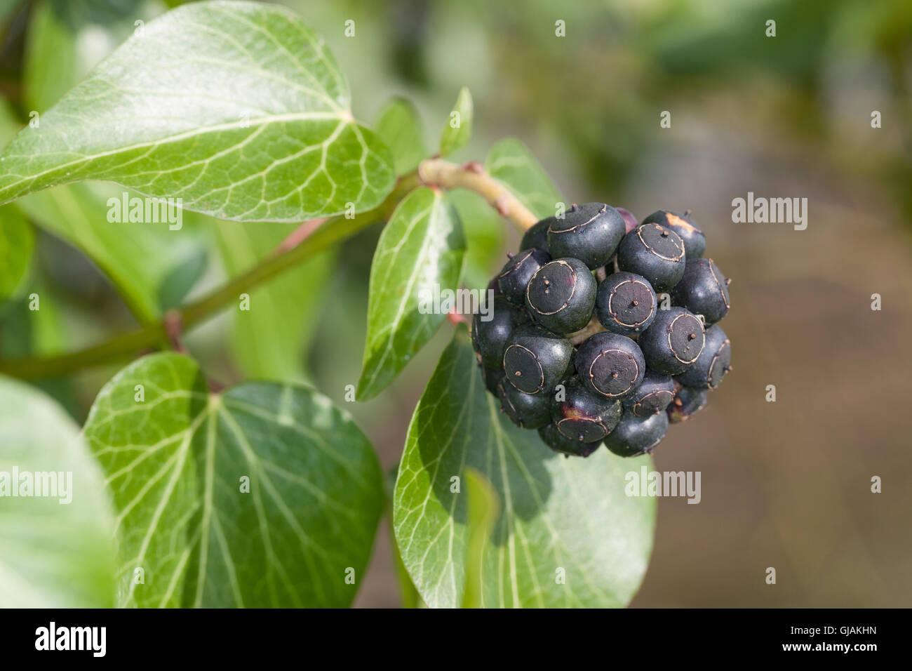 Efeu, Frucht, Früchte, Beere, Beeren, Hedera Helix, Common