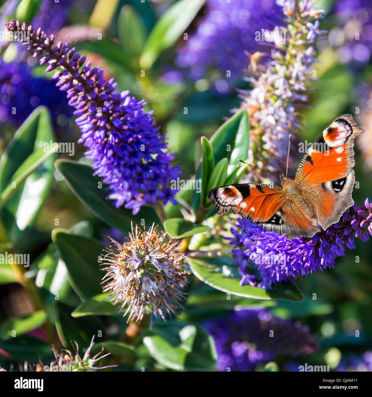 a beautiful peacock butterfly on a blue hebe flower in a garden at