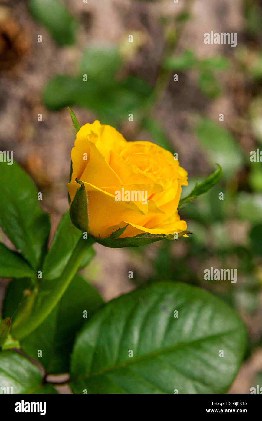 Beautiful yellow rose gardens - Beautiful Yellow Rose In The Garden Artistic Image Of Beautiful Flower For Greeting Cards