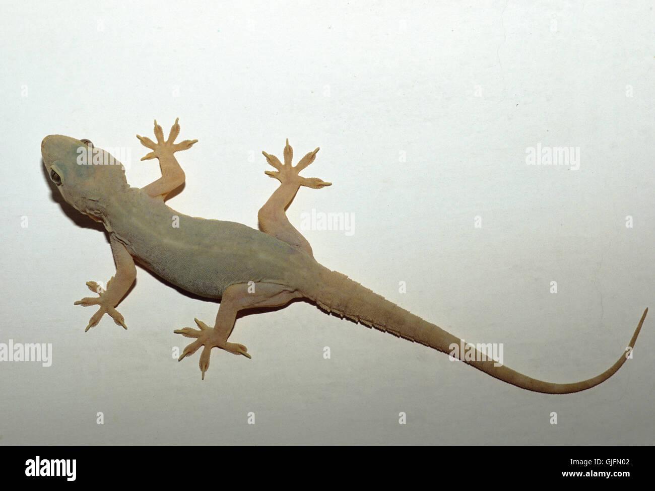 gecko climbing stock photos & gecko climbing stock images - alamy