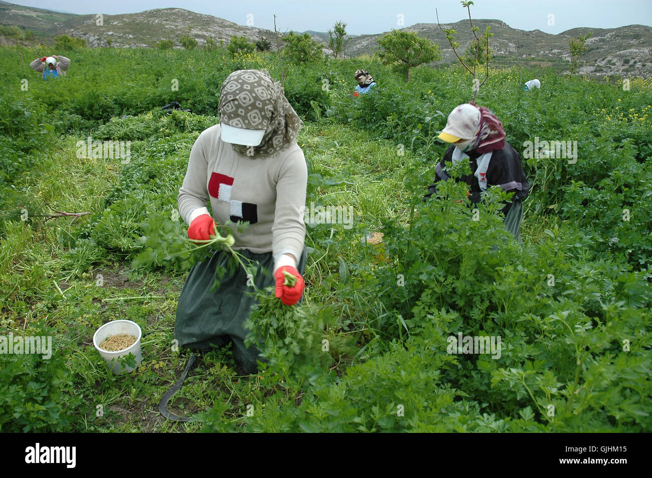 seasonal workers picking fruit stock photos seasonal workers seasonal agricultural workers work in the farm in adana stock image