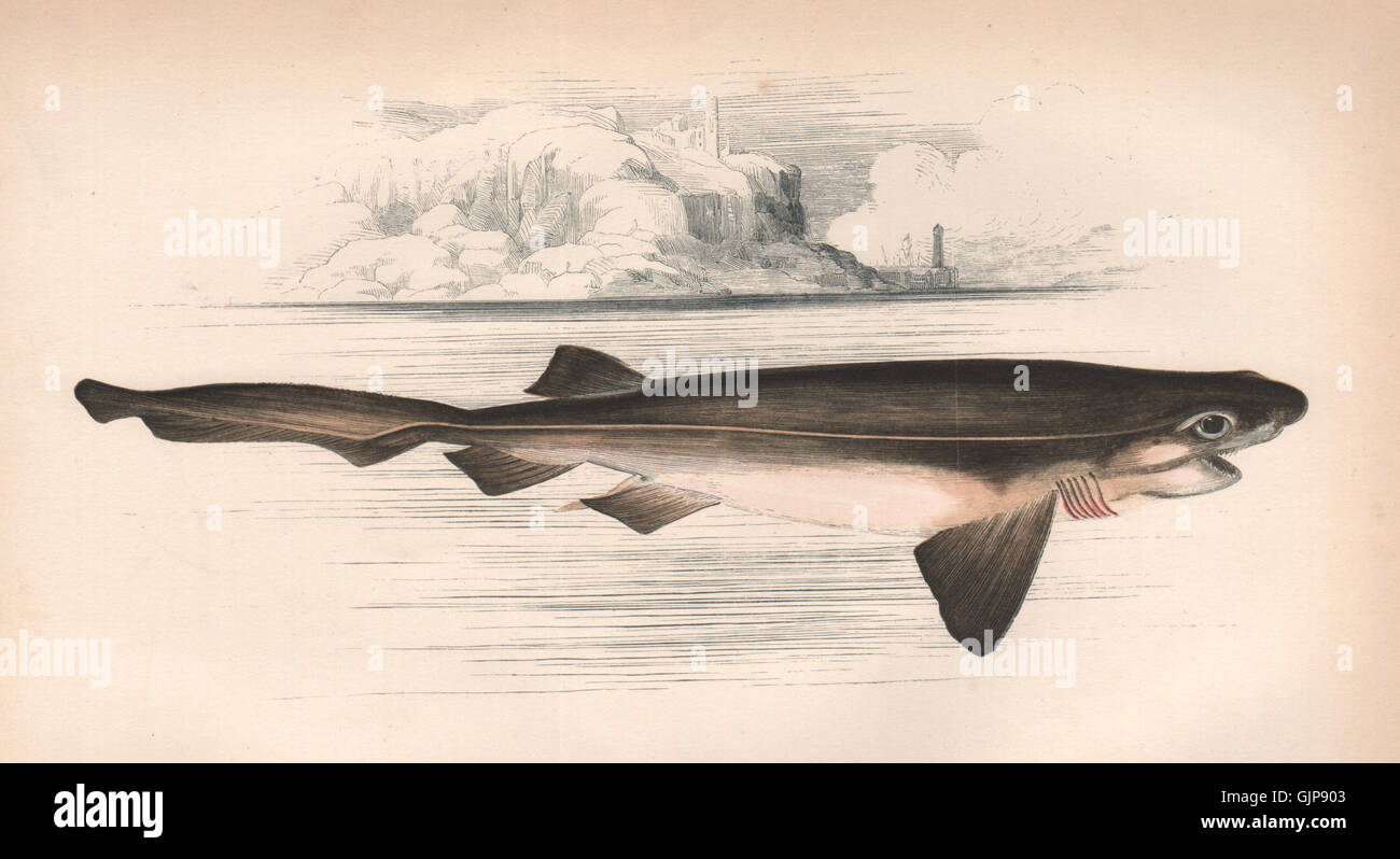 Uncategorized Shark Images To Print bluntnose sixgill shark hexanchus griseus cow couch old print 1862
