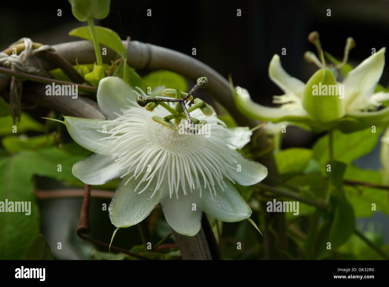 Passiflora white wedding passion flower stock photo royalty free passiflora white wedding passion flower dhlflorist Images