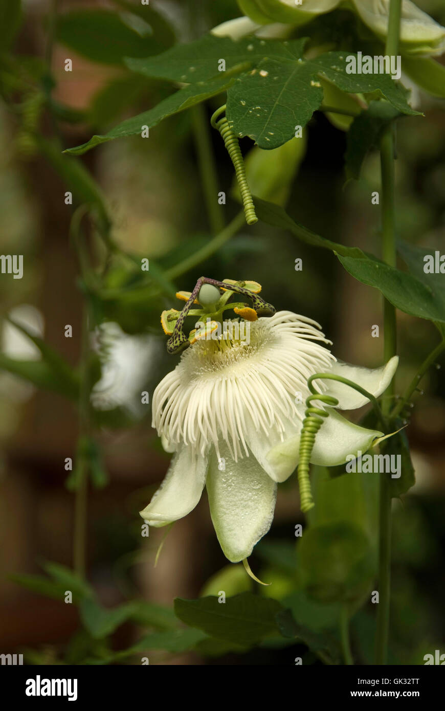 Passiflora white passion flower stock photo royalty free image passiflora white passion flower dhlflorist Images