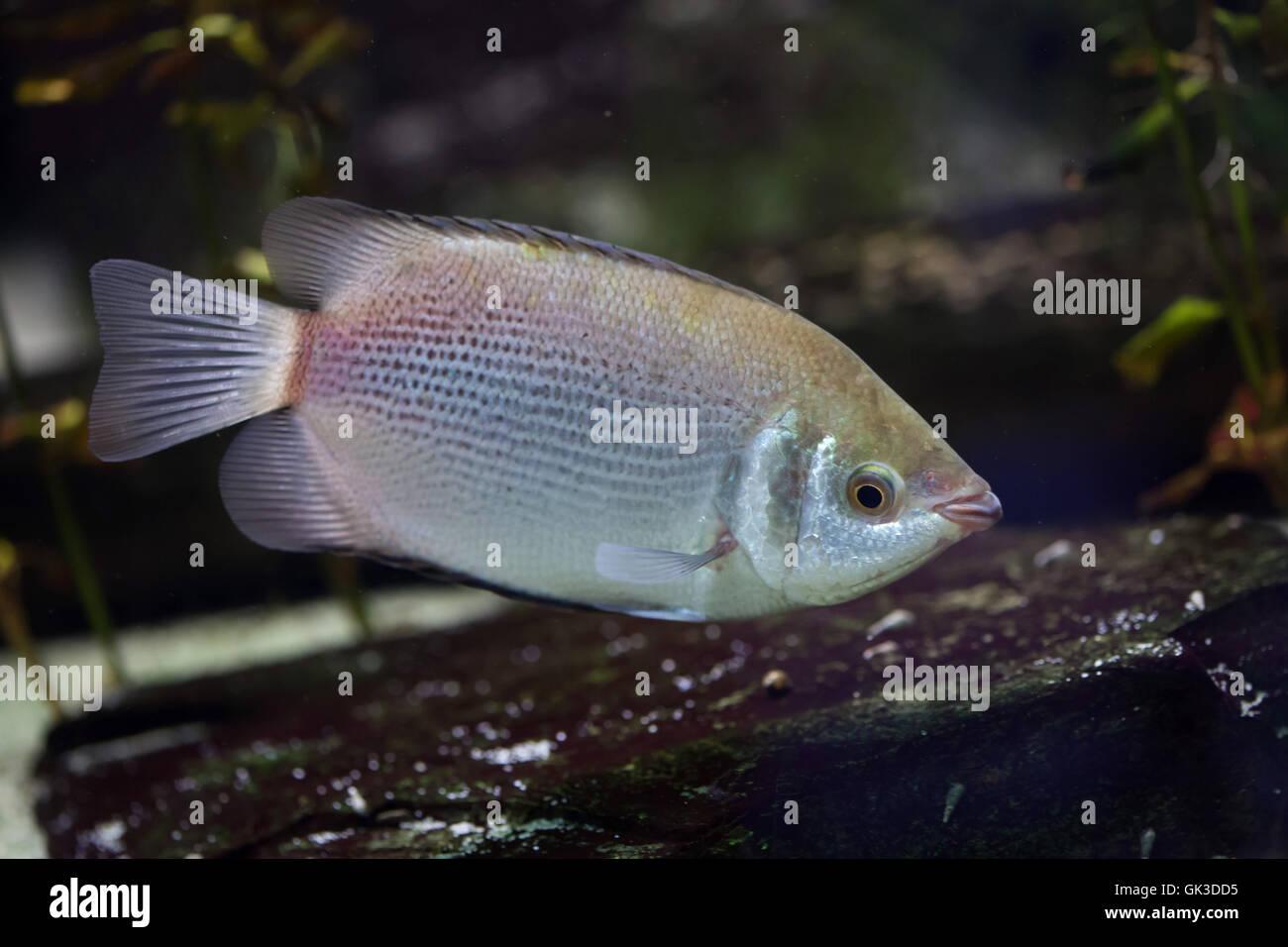 Kissing gourami helostoma temminckii also known as the for Kissing gourami fish