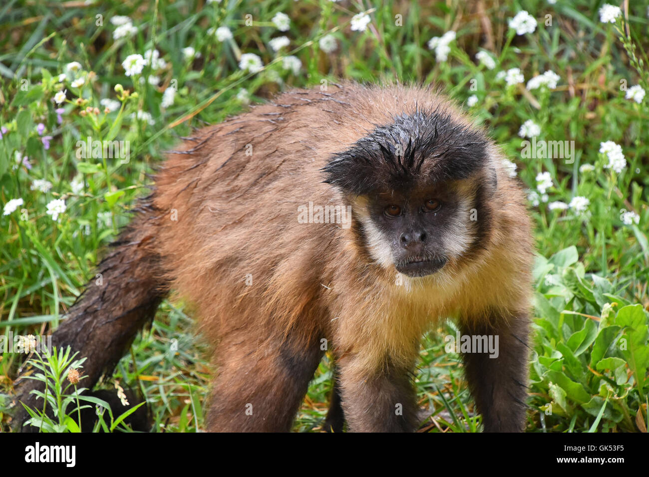 brown tufted capuchin Based on the species and subspecies proposed by groves in 2001 and 2005, robust capuchin monkey taxa include: black-capped, brown or tufted capuchin, sapajus apella guiana brown capuchin, sapajus apella apella.