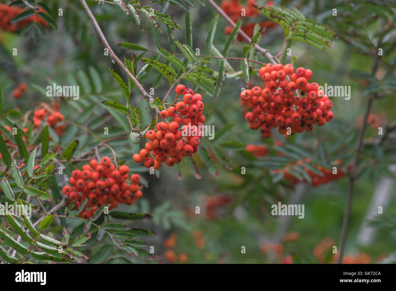 Fruit jam game - Red Berries Of Rowan Mountain Ash Sorbus Aucuparia Used In Making Rowan Jam Or Conserve Often Served With Cooked Game