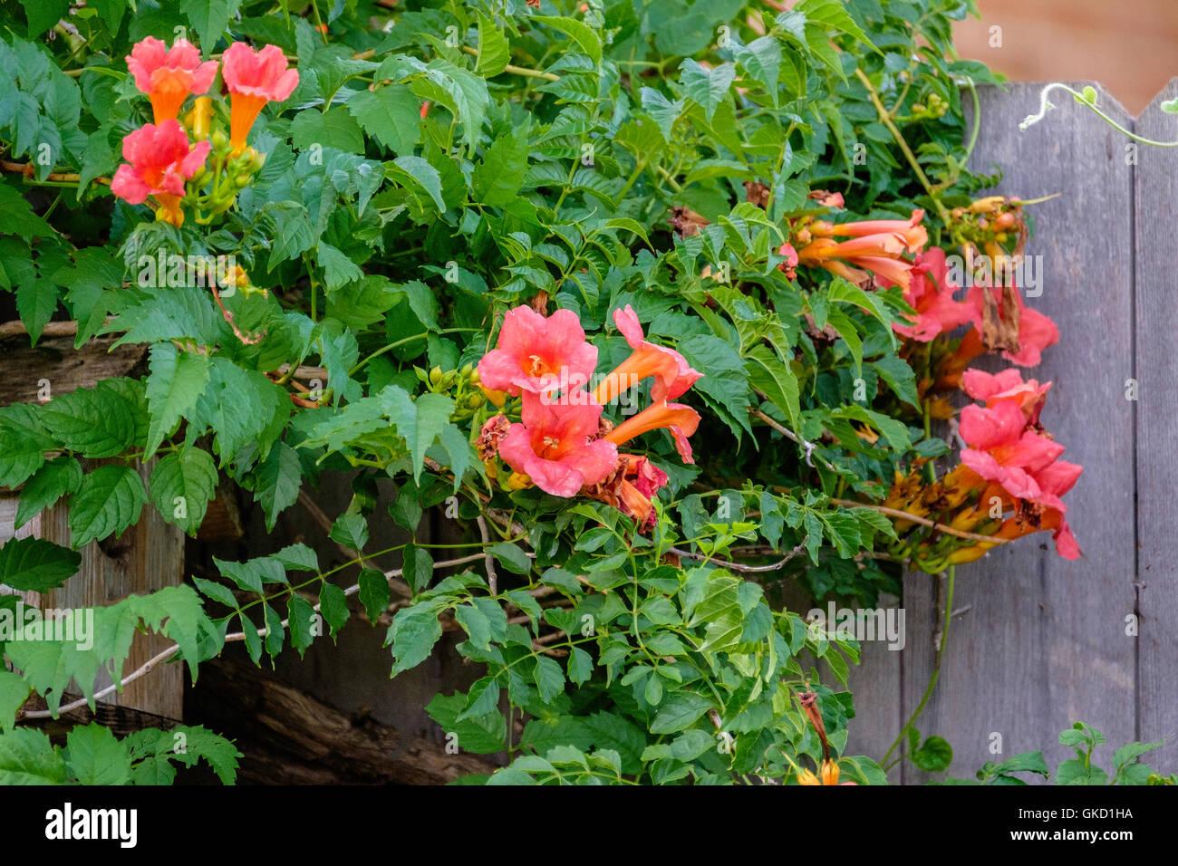 a-trumpet-vine-campsis-radicans-growing-